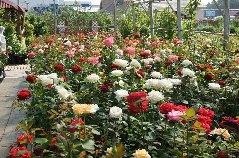 Саженцы цветов купить спб